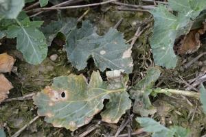 Sucha zgnilizna kapustnych na rzepaku – widoczne świeże infekcje