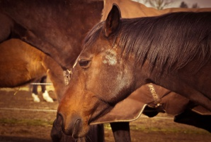 Obrońcy zwierząt protestują przeciwko wysyłaniu koni do japońskich rzeźni