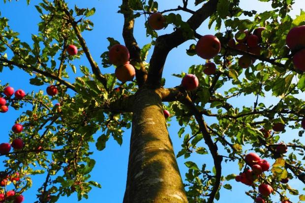 Polskie jabłonie już rosną w Kazachstanie