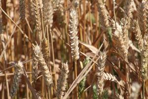 Mniejsze prognozy światowych dostaw pszenicy w sezonie 2015/2016
