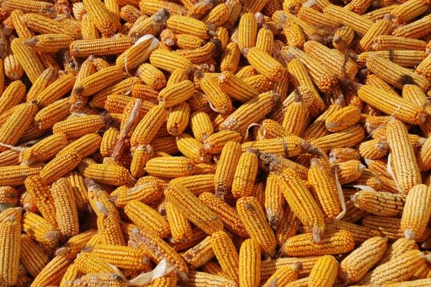 Mniejsze światowe dostawy zbóż paszowych