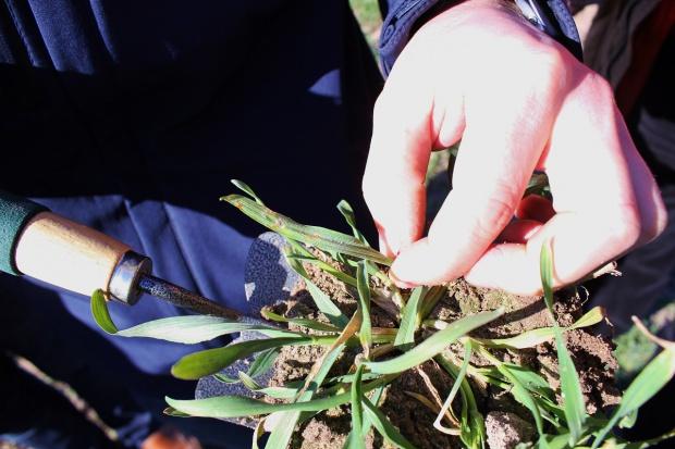 Progi szkodliwości rdzy brunatnej pszenicy