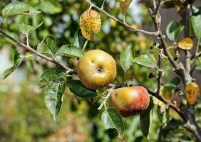 IMIDAN 40 WG – nowy insektycyd do zwalczania owocówki jabłkóweczki