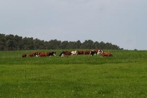 W Europie powraca trend do wypasu pastwiskowego krów