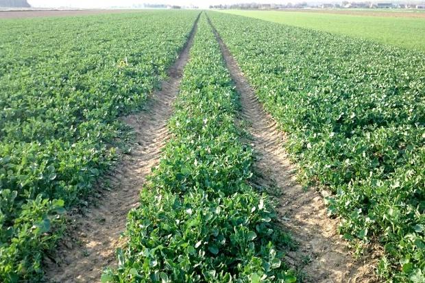 Stan plantacji zbóż i rzepaku w kraju
