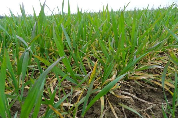 Francja ogłasza rekord zasiewów pszenicy