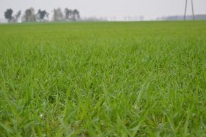 Stan upraw w Unii i prognoza produkcji zbóż
