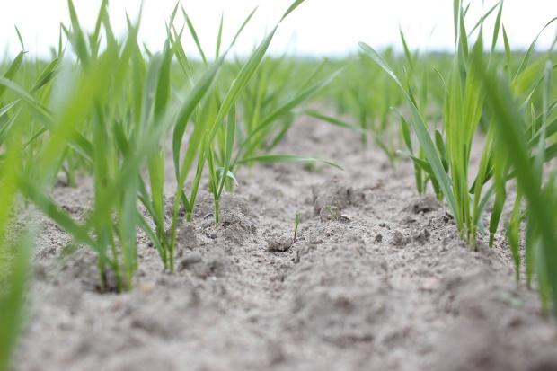 Można przystąpić do odchwaszczania pszenicy jarej - rośliny są w fazie 2-3 liści