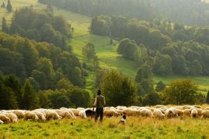 Bieszczady: Dobiega końca redyk owiec