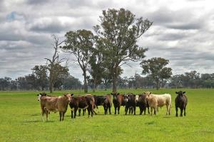 Chińczycy jednak kupują największą farmę bydła na świecie