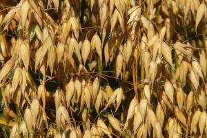 Giełdy krajowe: Rośnie liczba zainteresowanych zakupem zbóż