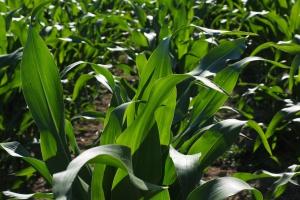 Brazylia ułatwia import kukurydzy