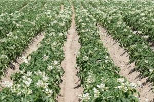 Wykorzystanie NPK z nawozów kompleksowych przez bardzo wczesne odmiany ziemniaka