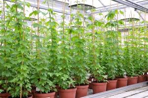 Jak uzyskać zdrowe sadzonki chmielu?