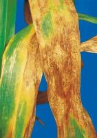 ADEXAR® PLUS – fungicyd z korzyściami AgCelence! Bez względu na pogodę!