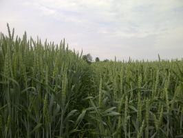 BASF zaleca: skracanie skuteczne niezależnie od temperatury!