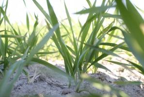 Nie zwlekaj z pogłówną dawką azotu w pszenicy jarej