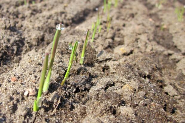 GUS: W 2016 r. uprawy przezimowały gorzej niż w 2015 r.