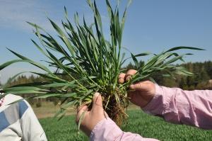 Korekt 510 SL – regulator wzrostu dla zbóż