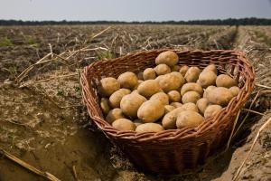 Nawożenie ziemniaka w rolnictwie integrowanym i ekologicznym