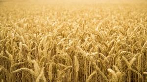 Ceny skupu zbóż stabilne
