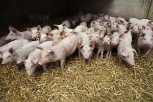 Rośnie duński eksport świń