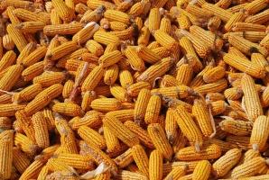 Zakiszanie ziarna kukurydzy – szansa na tanią paszę