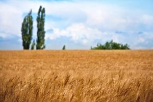 USDA: Prognoza światowej produkcji pszenicy