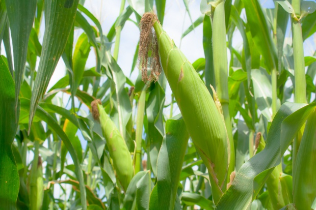 USDA: Wzrośnie światowa produkcja zbóż paszowych  w sezonie 2016/2017