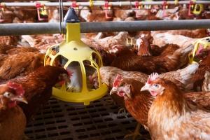 Przemysł drobiarski eksportem stoi