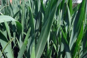 Czas rozważyć podanie III dawki azotu w pszenicy ozimej