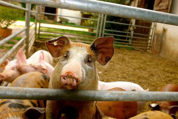 Kolejny tydzień podwyżek cen świń