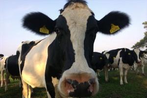 Najwydajniejsza szwajcarska krowa