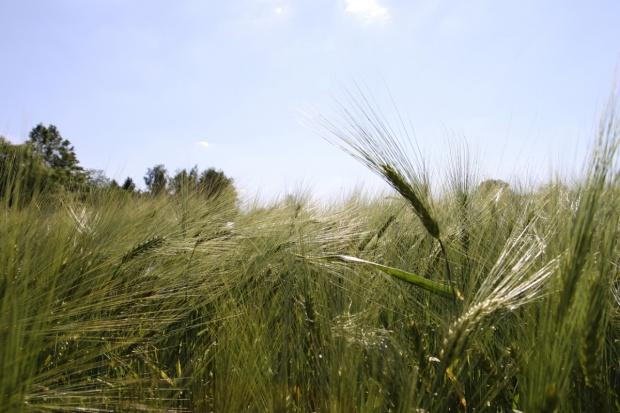 Francja: Producenci jęczmienia ozimego na rozdrożu
