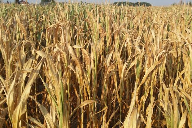 MRiRW zapowiada dokładniejsze szacowanie zagrożenia suszą