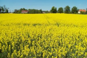 SG: Najnowsza prognoza zbiorów roślin oleistych