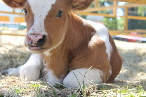 Amerykańscy naukowcy: Metionina poprawia wyniki rozrodu bydła