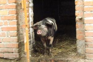 Wrosło pogłowie świń ras złotnickich