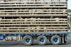 Zatrzymać ciężarówki - hasło tegorocznego Dnia Praw Zwierząt