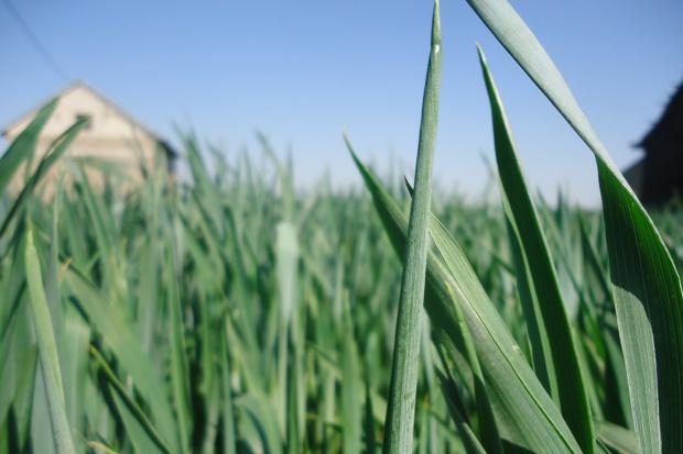 Sucho – rolnicy rezygnują z podania III dawki azotu w zbożach