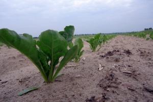 Pogłówna dawka azotu w buraku cukrowym