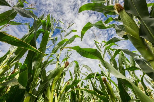 Tylko kukurydza podrożała