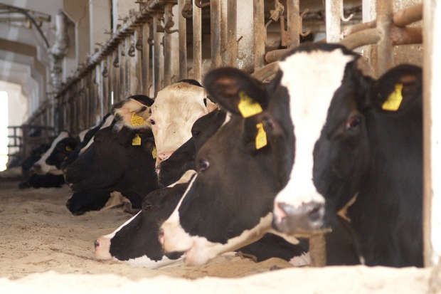 Ceny bydła z niewielkim wzrostem