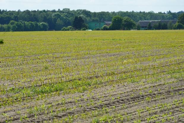 Rolnice niszczą kukurydzę i okopowe