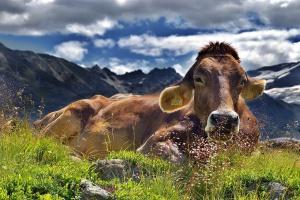 UE: 3,5 proc. krów w gospodarstwach ekologicznych