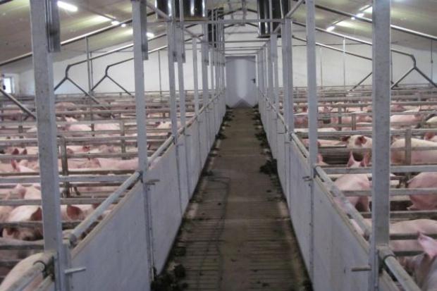 Symptomy stresu cieplnego u świń