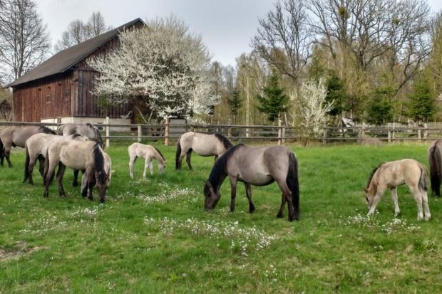 10 koników polskich urodziło się wiosną w ośrodku hodowli nad Biebrzą