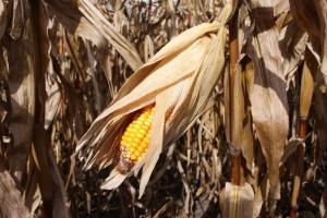 IGC: Więcej pszenicy i kukurydzy