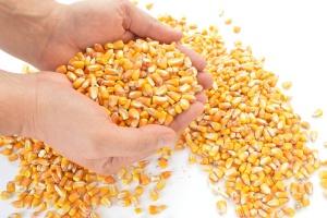 Rosja: Korekta w górę prognozy eksportowej zbóż