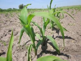 Podaj mikroelementy kukurydzy